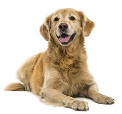 Picture of Golden Retriever Dog